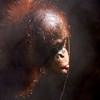 Bornean Orangutan<br /> Scientific Name: Pongo pygmaeus