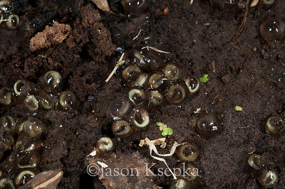 Ambystoma annulatum, Ringed Salamander, eggs; Warren County, Missouri  2010-10-07  #1