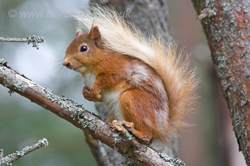 Scottish Red Squirrel sitting on a branch