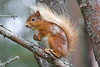 Scottish Red Squirrel sitting on a branch