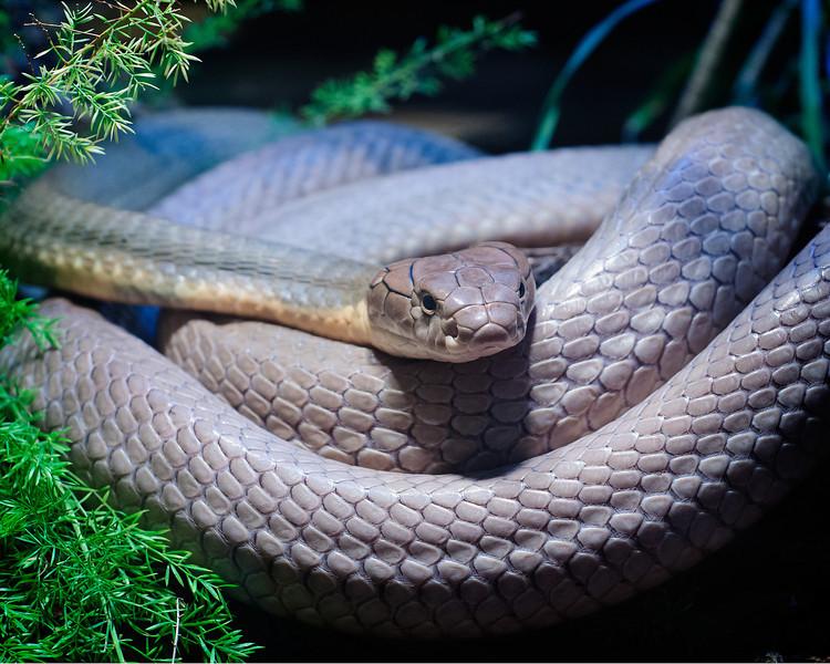 King Cobra @ Houston Zoo