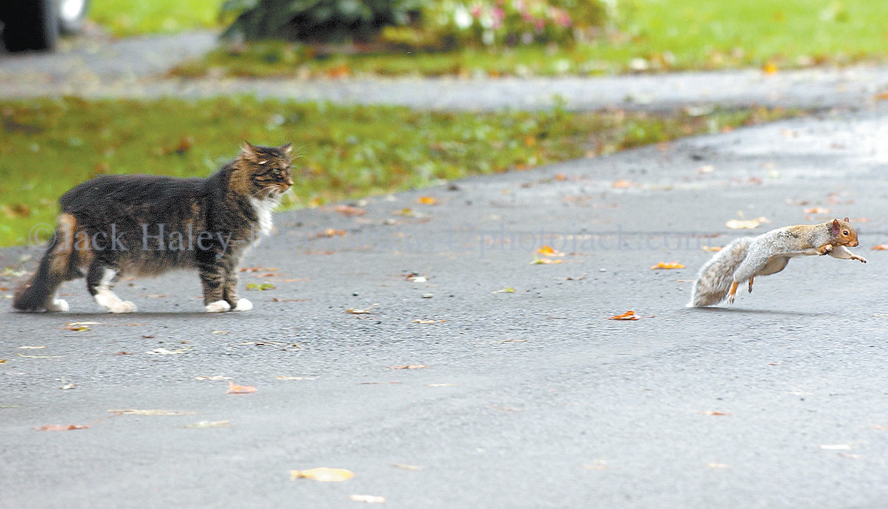 jhrunner - A three-legged squirrel takes off after this tabby gets too close to him on Park Place in Phelps on Thursday 10/13.