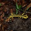Salamandra de los bosques de Irati