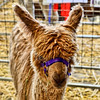 Alpaca<br /> <br /> Captured using Canon 6D + Canon 50mm f/1.8, ISO 800, f/6.3, 1/25sec, cropped, processed using PS-CS5 and IPv5.