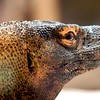 Komodo Dragon<br /> Scientific Name: Varanus komodoensis