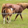 Chincoteague Pony - Mare & Foal.
