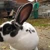Conejo gigante mariposa o papillon frances