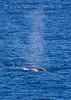 Fin Whale Blowing, Bay of Biscay