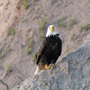 Eagle at Clay Cliffs