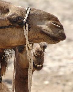 camelsmiling2