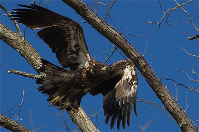 Bear Mountain (Immature) Bald Eagle (New York)