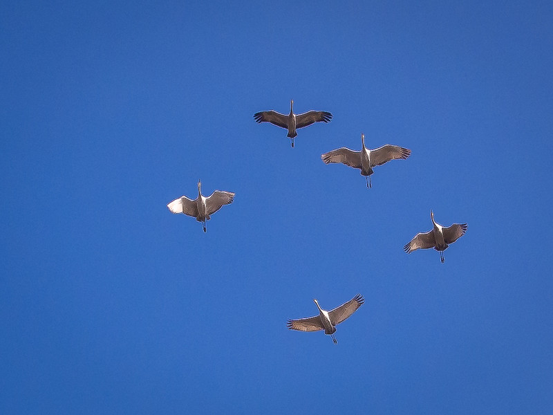 Sandhill Cranes in Flight, Woodbridge Reserve, CA