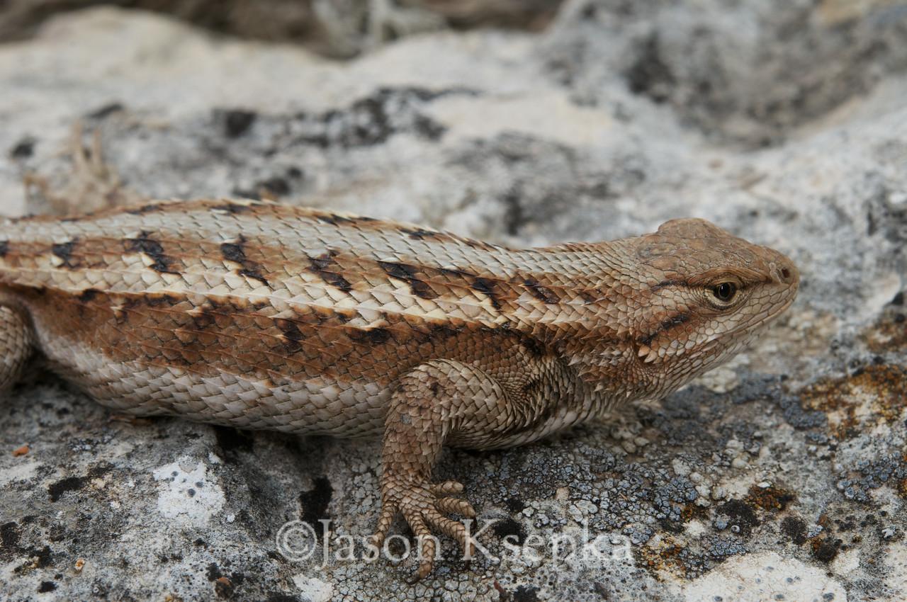Sceloporus consobrinus, Prairie Lizard; Russel County, Kansas  2011-04-14  #4