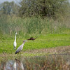 Heron, Egret, and Mongoose, All Hunting