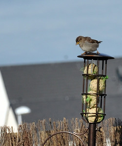 Sparrow on bird feeder