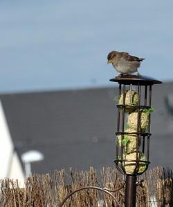 Sparrow on bird feeder