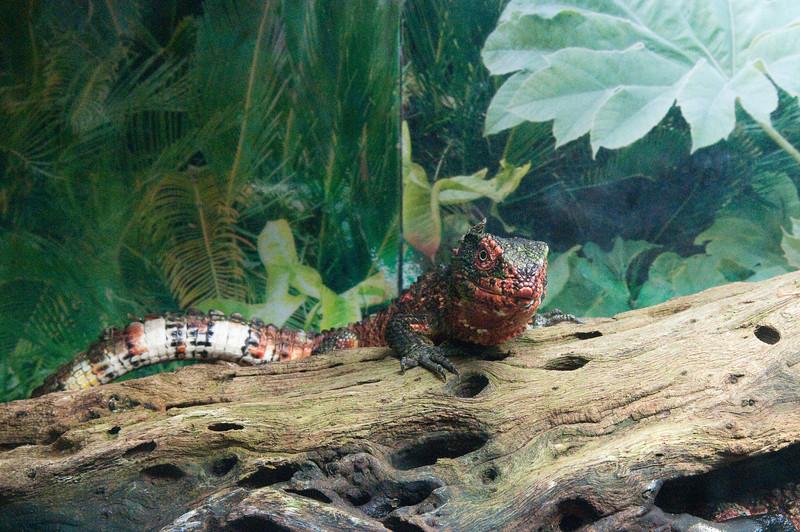 Houston Zoo Chinese Lizard