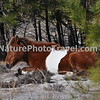 Chincoteague Pony - Mare in cover.