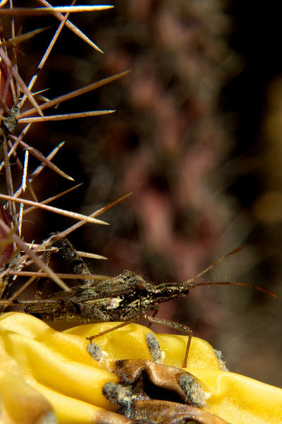 Cane Cholla & brown Assasin bug