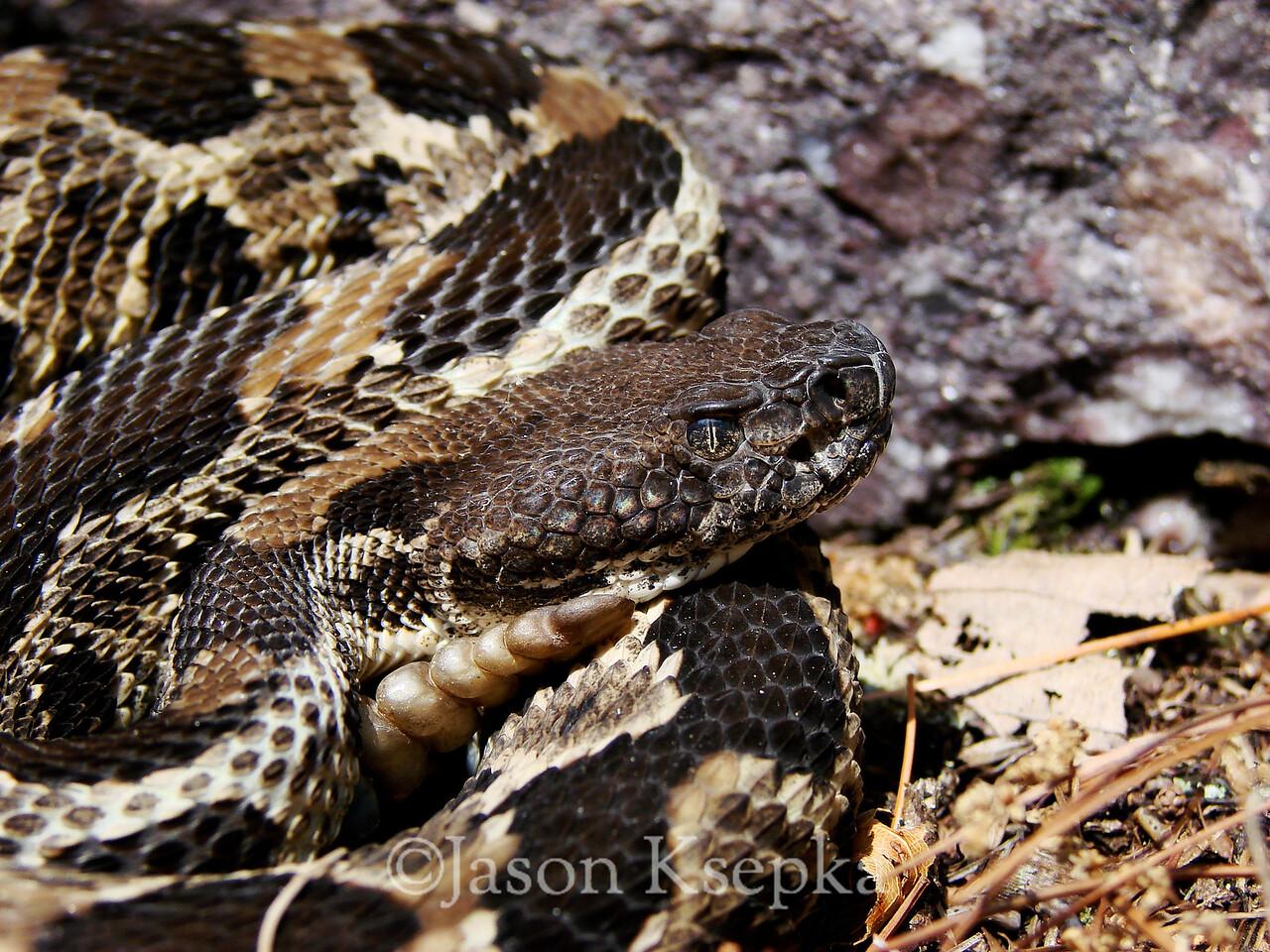 Crotalus horridus horridus, Timber Rattlesnake; Passaic County, New Jersey  2007-07-07  #44