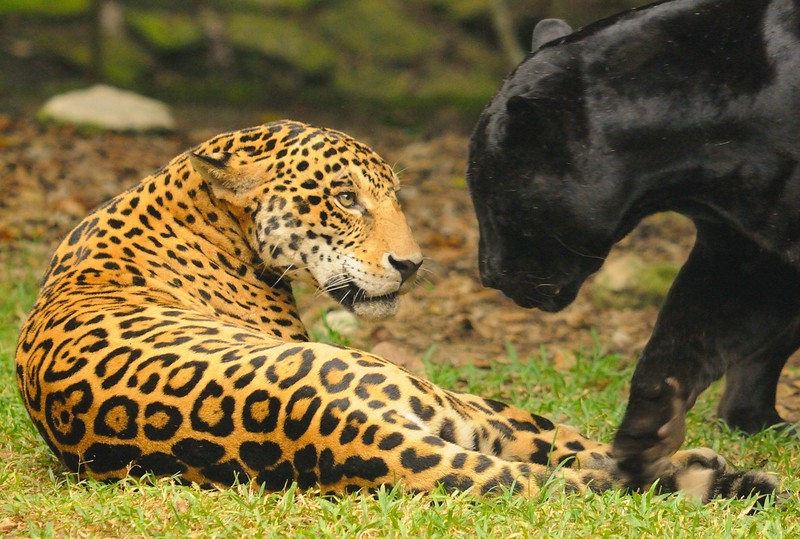 Jaguars At Play