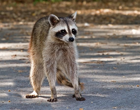 Racoon, Wichita Mountain Wildlife Refuge