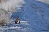 Bobcat (Lynx rufus).  The bobcat is a North American mammal of the cat family Felidae. Рыжая рысь.