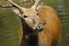 Amanda's Pere David's Deer