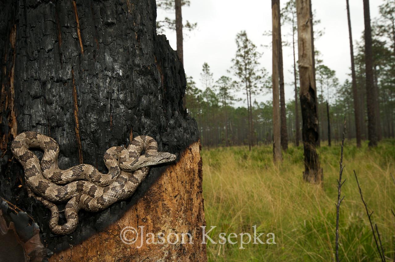"Pantherophis spiloides, Gray Ratsnake ""Gulf Hammock"" phase; Wakulla County, Apalachicola National Forest, Florida 2009-04-13 26"