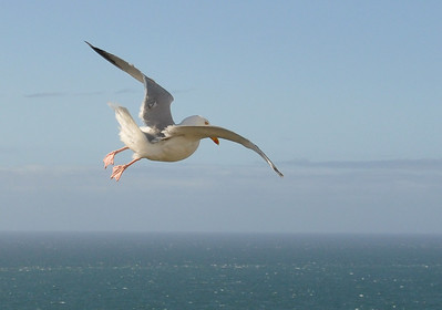 Seagull gliding on the wind