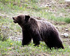 Young Grizzly Bear<br /> Near Banff, Alberta