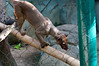 Fossa Houston Zoo