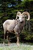 Bighorn Sheep<br /> Jasper, Alberta