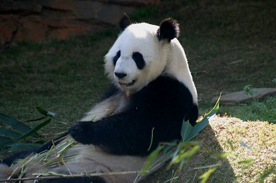 The male Great Panda at Zoo Atlanta takes a break from stuffing his face.  That's bamboo plants all around him.