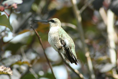 I was able to get a close up of the Hummingbird that has been eating out of the Humminbird feeder.
