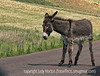 Wild donkey in Custer State Park in South Dakota; best viewed in the largest sizes to see the lovely fuzzy ears