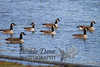 02-04-2012-geese-8870