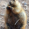 Prairie Dog, AZ