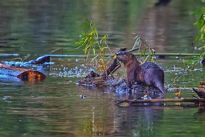 Buffalo Otter