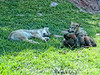 Wolf pups at Bear Country in SD; best viewed in the largest sizes