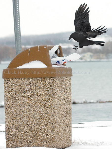 jhbirdmeal2 .............after no success with the empty food container the crow heads to the trash can to try it's luck there. Not big enough to pull the trash out, it leaves................