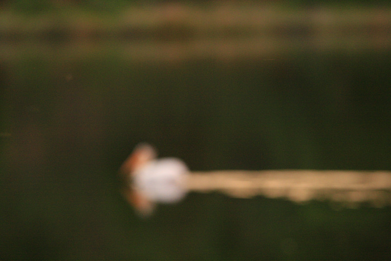 Out of Focus Pelican on Baum Lake, CA