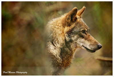 I never usually bother with wildlife photography, but there's just something about wolves.