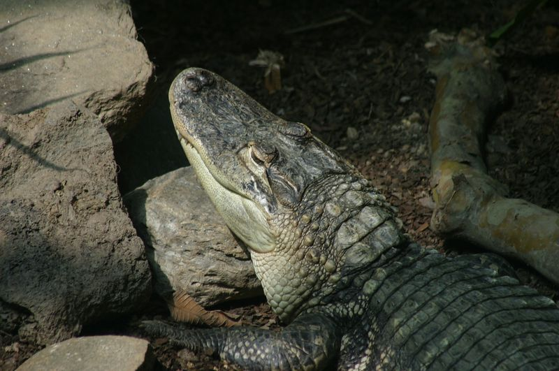 This is one of the crocodiles in the reptile area at Zoo Atlanta.