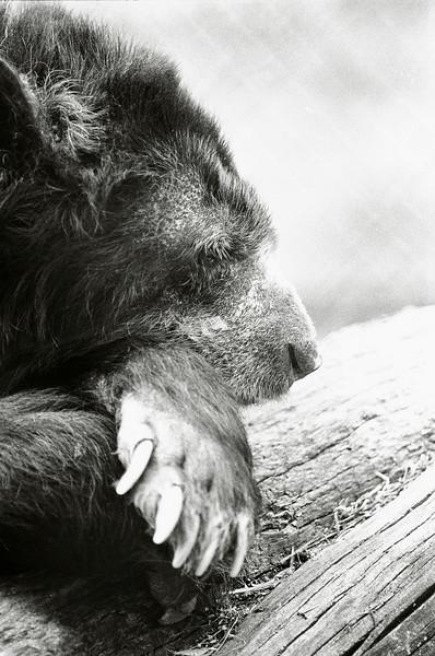 BearHeadOnchin9330006