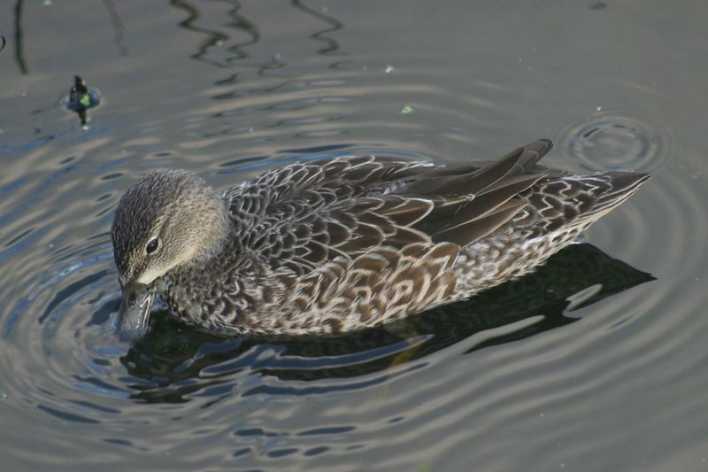 Another duck in the water at Wakodahachee Wetlands.