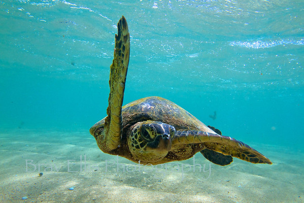 Hawaiian Green Sea Turtle,  I like this one because you can really see the eye of the turtle.