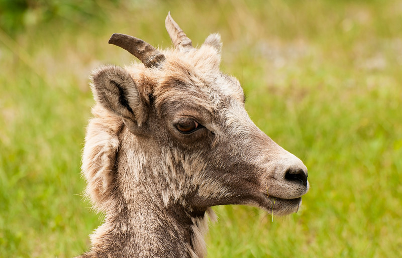 Young Bighorn Sheep
