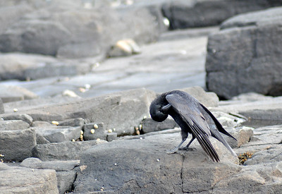 Crow cleaning