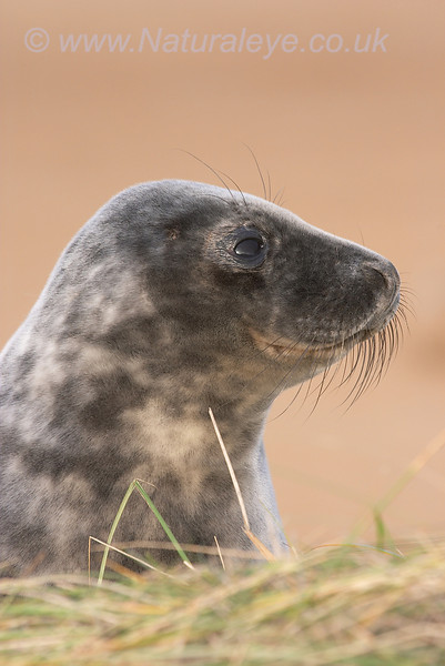 Grey Seal, Donna Nook, UK